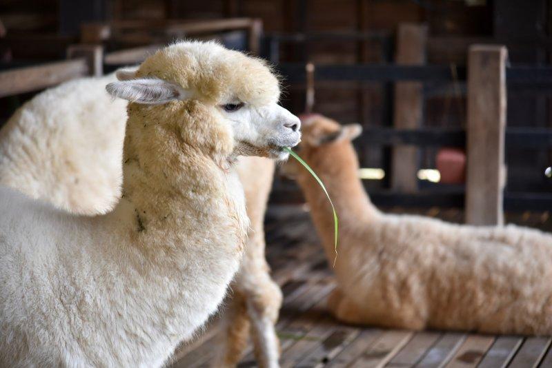 Domestikované lamy alpaka se vyplatí chovat díky vysoké ceně kvalitní vlny. Zdroj: Aunyaluck / Shutterstock, Inc.